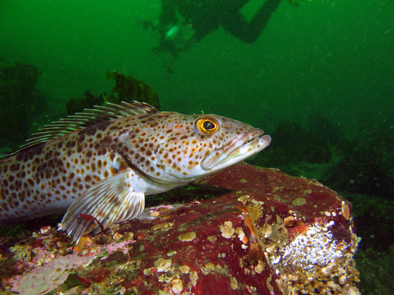 Ling Cod perches on rock, diver in background. Barkley Sound, BC