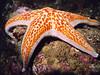 Leather Star, near Waterman's Point, WA