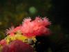 Brooding Anemone, Deception Pass, WA
