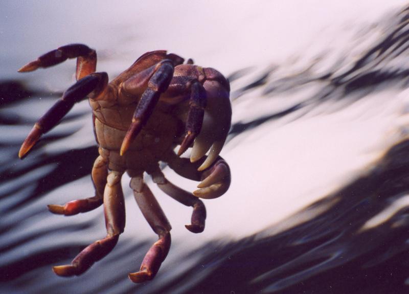 Crab, Les Davis Pier, Tacoma, WA