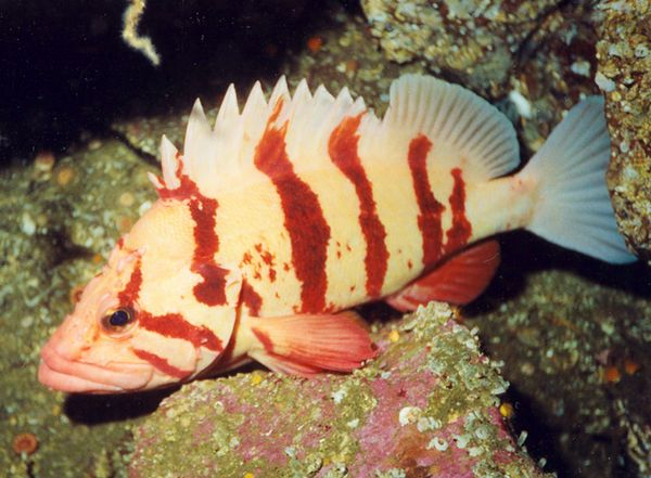 Tiger Rockfish, Barkley Sound, BC
