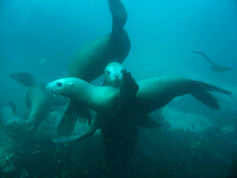 Steller Sea Lions, near Tatoosh Island, WA