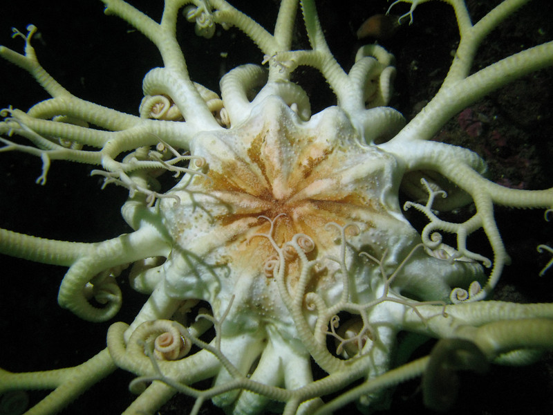 Basket Star, San Juan Islands, WA