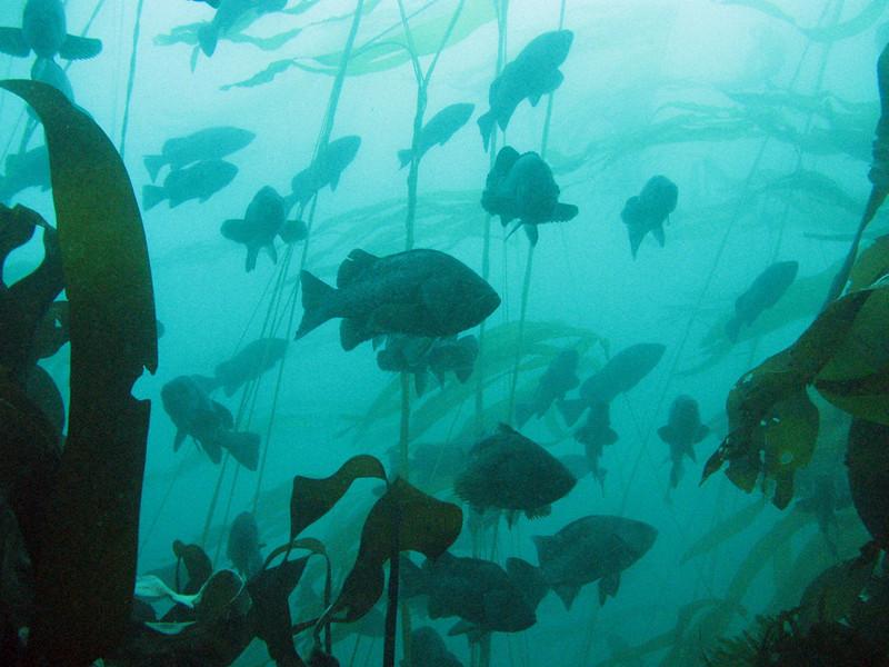 Schooling Black Rockfish, near Neah Bay, WA