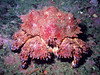 Puget Sound King Crab, Sekiu, WA