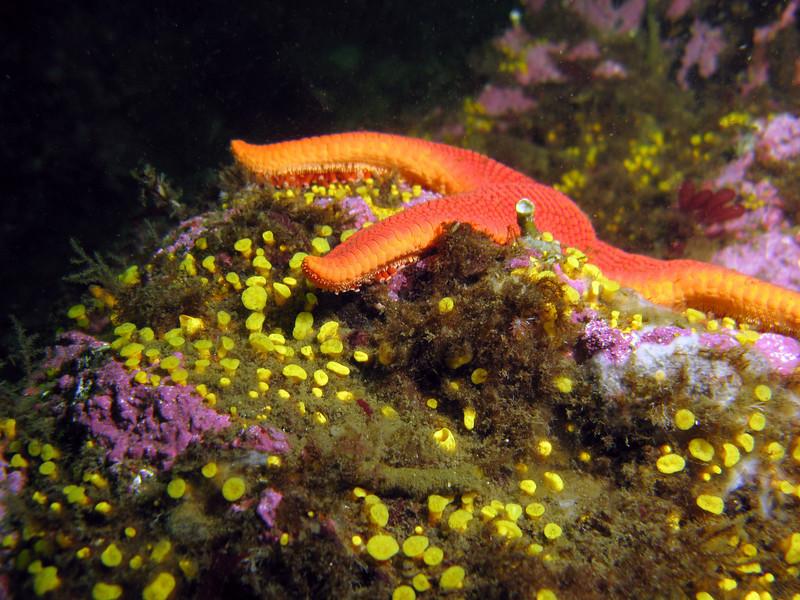 Colorful Yellow Boring Sponge, Pink Coralline Algae, and a Vermillion Star