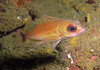 Pregnant Puget Sound rockfish