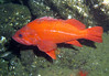 Vermilion Rockfish - we saw probably about 30+ of these at the Pinnacle.