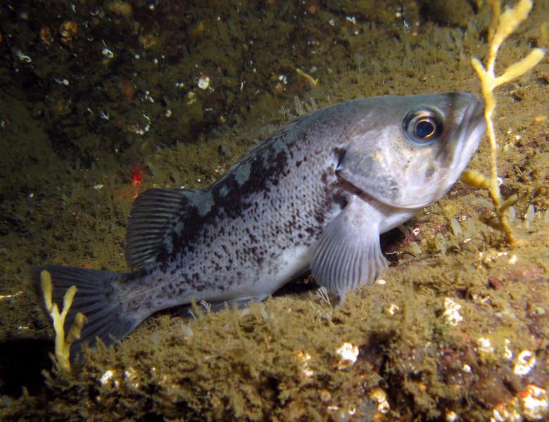 Black Rockfish near Yellow Branching Sponge