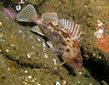 Brown Rockfish (with cool spaghetti worm?) near his tail