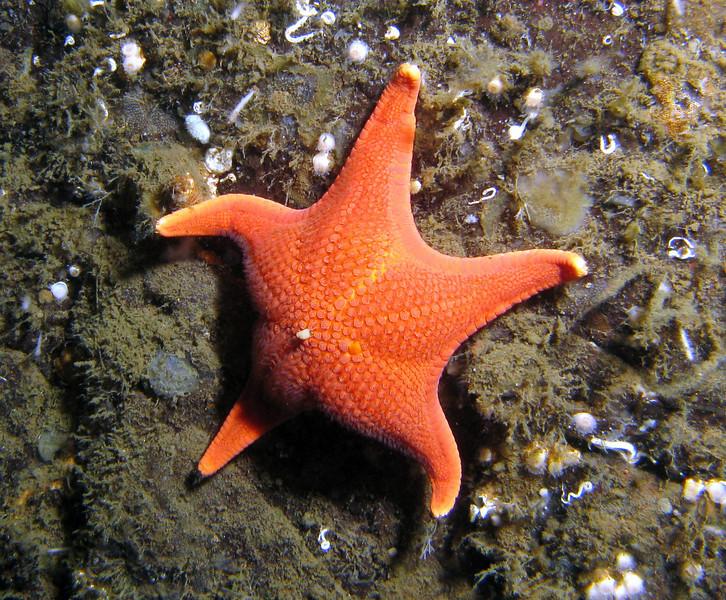 Vermilion Star