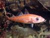 Pacific Cod, juvenile