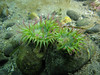 Colorful green anemones in the shallows
