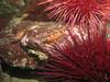 Juvenile Puget Sound Rockfish