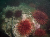 Sea Urchins adorn the rocks
