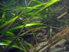 Eelgrass