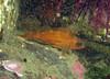 A little juvenile Puget Sound Rockfish