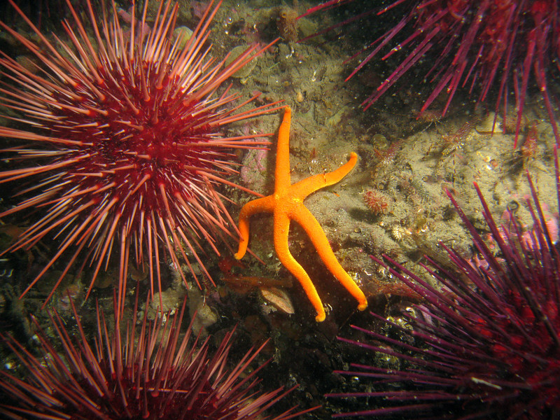 A Blood star looks lazy sitting among the Red Urchins.