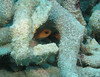 Mandy's Eel garden in coral rubble about 60-70 feet.<br /> ID'd as Striped Cardinalfish