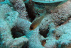Mandy's Eel Garden in coral rubble on the sand.<br /> ID'd as Striped Cardinalfish