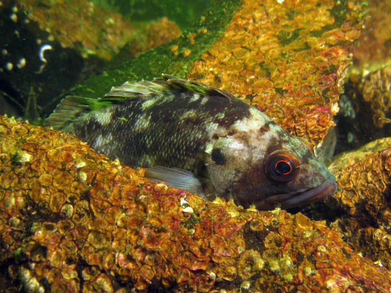 Brown Rockfish, juvenile