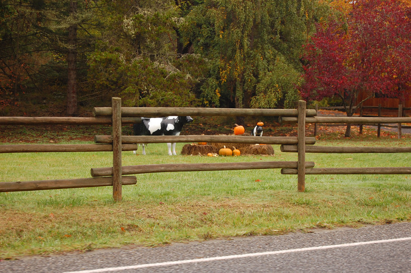 Fun Halloween scene in someone's front lawn. Plastic cows and pumpkins.