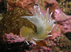 White Lined Dirona curls itself around a piece of kelp.