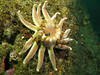 Morning / Dawson's Sunstar, Solaster dawsoni in advanced stages of disease