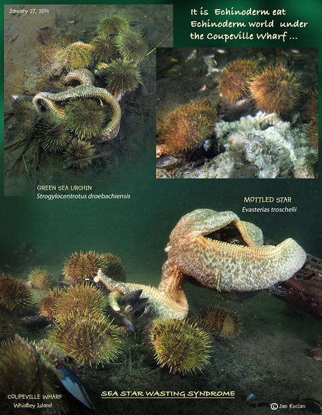 """Another cycle of sea star surveys from Whidbey Island. The Langley Harbor, which managed to dodge the bullet for some time is now showing the beginnings of the dreaded wasting. With such large population of Sunflower stars, it will be interesting what the next visit there will show. On Monday, January 27, I surveyed two additional sites. From previous dives I knew Deception Pass has a rather small population of sea stars, but I was curious to see how they are faring. Unfortunately, most of the time currents are too strong to dive there and also the beach access for diving is closed in winter. I contacted the park ranger and he not only knew about the wasting syndrome but was very supportive of the idea to survey the situation in the Pass. So gates opened and I am happy to report that so far, the stars are doing fine. Small leak in drysuit did not dampen my joy of seeing the healthy population . On the way home I decided to check out a location I never dove before - under the old wharf at Coupeville. Most of the time the visibility there is less than good, but this Monday it was great, almost 15 feet. So I donned my wet undergarments again and jumped in, with the harbormaster's permission. I expected a short dive with not much to photograph, but the number of Mottled stars in the area was astounding. I never saw so many congregating so tightly. Counting them was quickly dismissed as impractical, so settle for """"zillion"""" :)<br /> I saw signs of wasting stars, but they seemed to be concentrated in one area under the building and compared to the hordes of healthy ones around, seemed insignificant. Of course, it will be interesting to see what the future will bring. I was surprised to find that not one single Sunflower star joined the feast on mussels falling down from the overhead, which feeds the multitudes of stars below. Later, when I talked with the harbormaster, she said, that there were never Sunflower there. She said that she finds them in her crab traps away in o"""