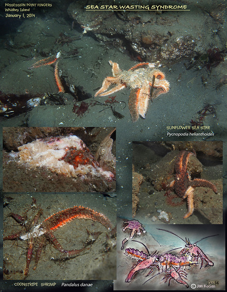 Started the new year, revisiting local spots. It seems that Possession Point Pycnopodia stars are being hit more and more, while other species are so far doing well.<br /> On last dive at the Possession Point I counted twenty five casualties, so far the healthy ones still outnumber the dying ones probably 5 to 1. <br /> Langley harbor on other hand is still avoiding the syndrome. Yesterday, January 5th, I did not see a single sea star suffering. And there are hundreds and hundreds<br /> of Pycnopodia all over the place. Even the one sickly looking Pink seem to be healthier, not so starved looking like on December 28.<br /> Art/Photo ©2014 by Jan Kocian.