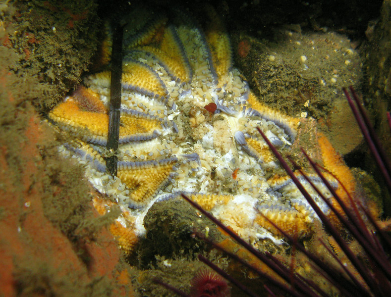 Striped / Stimpson's Sunstar, Solaster stimpsoni