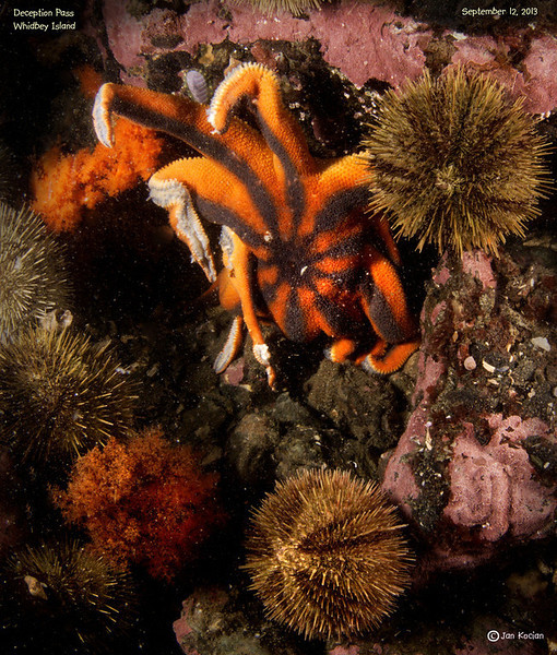 """Photo ©2013 by Jan Kocian. Deception Pass, WA. Sept 12th, 2013. Stimpsons Sunstar. """"Found one sick Solaster stimpsoni at Deception Pass today. All other sea stars looked OK."""""""