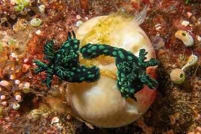 Nembrotha Nudibranchs