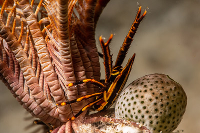 Elegant Crinoid Squat Lobster