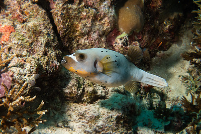 Blackspotted Puffer