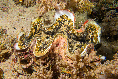 Giant Tricadna Clam
