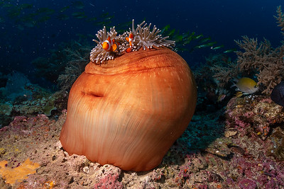 Anemone and Anemonefish