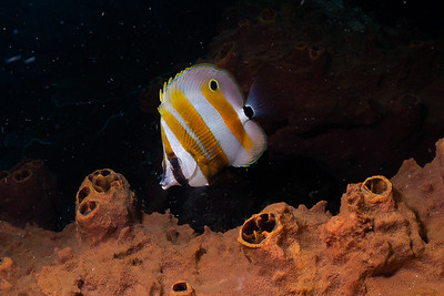 Orange-Banded Coralfish
