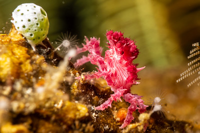 Soft Coral Crab