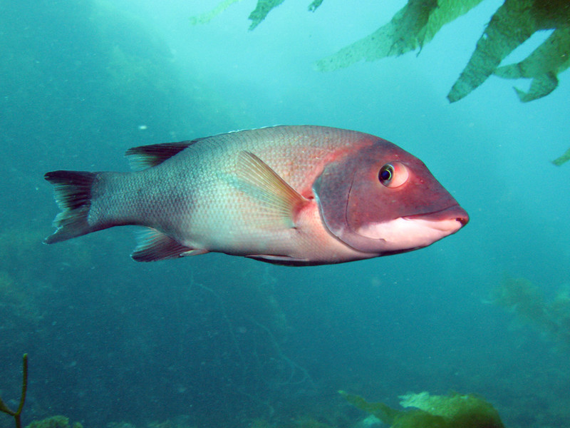 California Sheephead - Semicossyphus pulcher