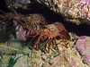 Spiny Lobsters - Panulirus interruptus