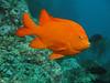 Another Garibaldi - Hypsypops rubicundus