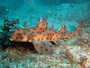 A horn shark (Heterodontus francisci) that we found off Casino Point.