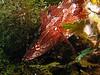 Island Kelpfish - Alloclinus holderi