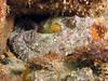 Two spot Octopus - Octopus bimaculoides