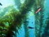Blacksmith Damselfish (Chromis punctipinnis) in the kelp forest of  Giant kelp (Macrocystis pyrifera).<br /> .