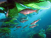 Kelp bass (Paralabrax clathratus) in the kelp forest of  Giant kelp (Macrocystis pyrifera).