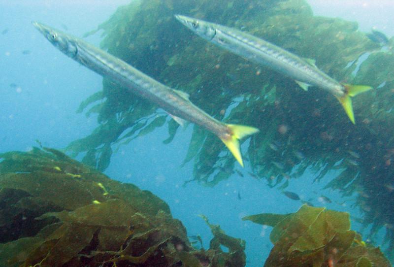 Pacific Barracuda - Sphyraena argentea