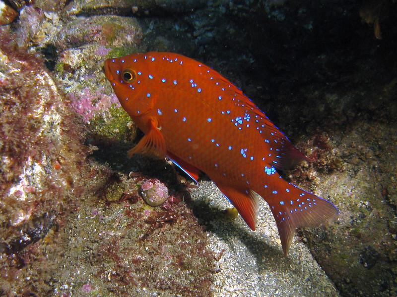 Juvenile Garibaldi - Hypsypops rubicundus