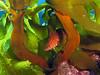 Giant Kelpfish (Alloclinus holderi) swimming through southern sea palm (Eisenia arborea).